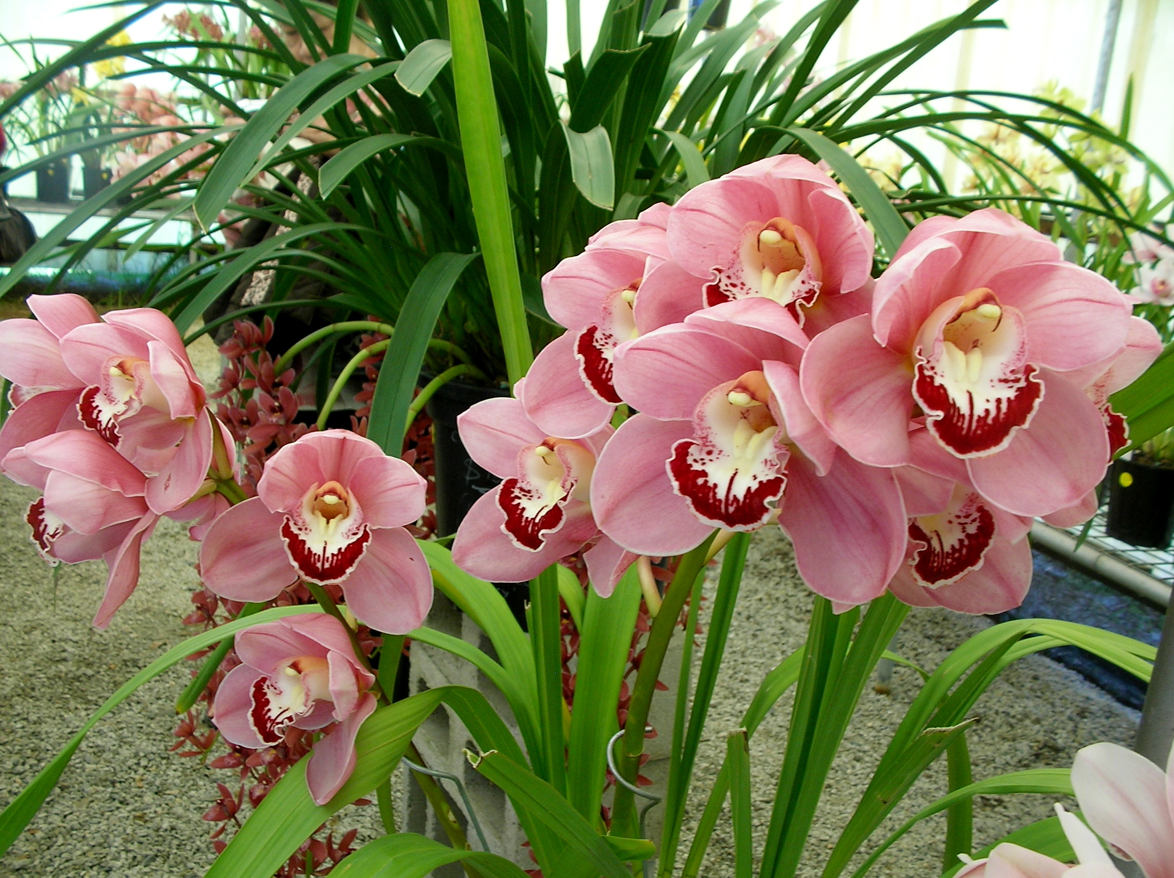 Cymbidium Orchid Colors Cymbidium Orchids